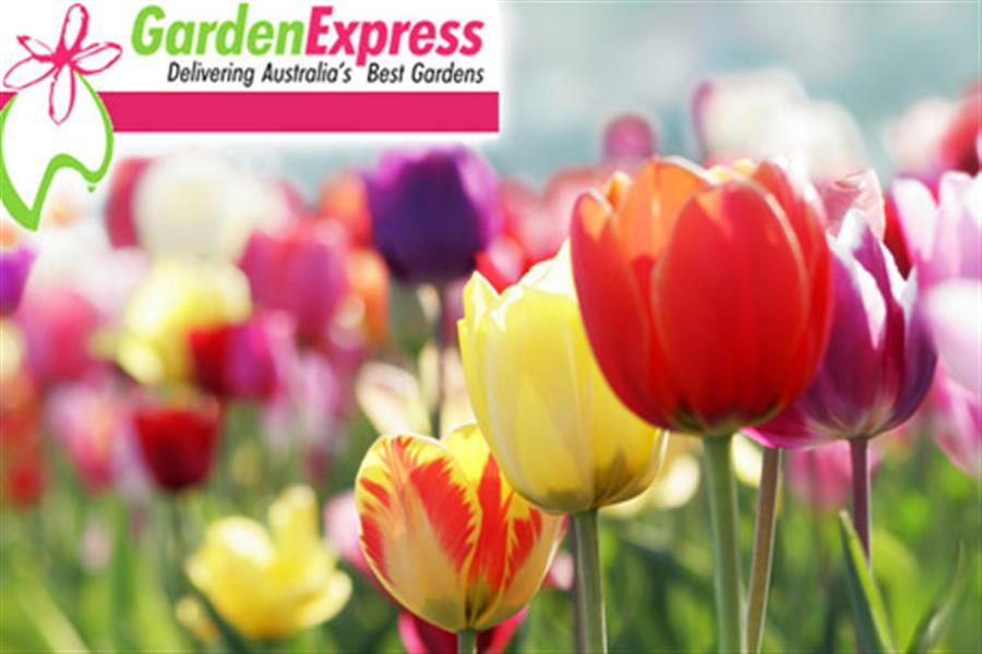Huge pack of stunning spring flowering bulbs delivered mightylinksfo